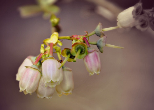 05-07-12 Blueberry Blossoms by roswellsgirl