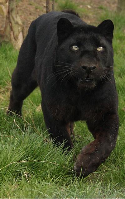 Black Leopard Natural Habitat