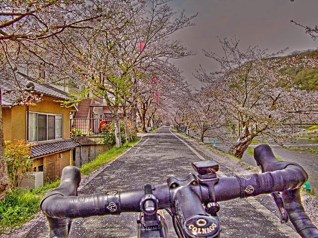 井原堤の桜 #3