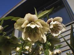 flower, plant, hellebore, flora, close-up,