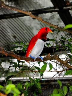 King Bird-of paradise Cicinnurus regius