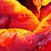 Tulipa (Abu Hassan) Raindrops