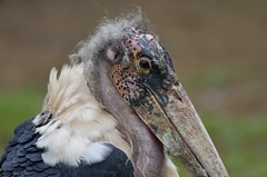 animal, fauna, close-up, ciconiiformes, marabou stork, beak, bird, wildlife,
