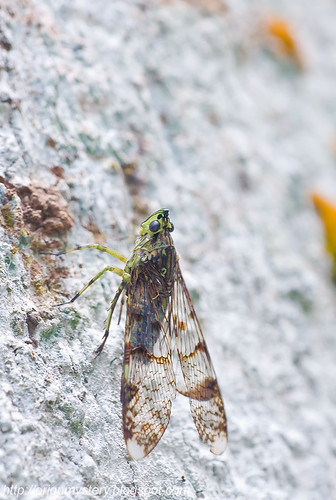 Fulgorid - Dichoptera...IMG_3974 cropped copy