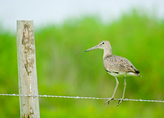 Willet on the Fence