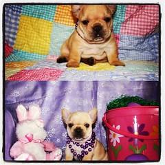 animal, puppy, dog, pet, mammal, french bulldog, bulldog,