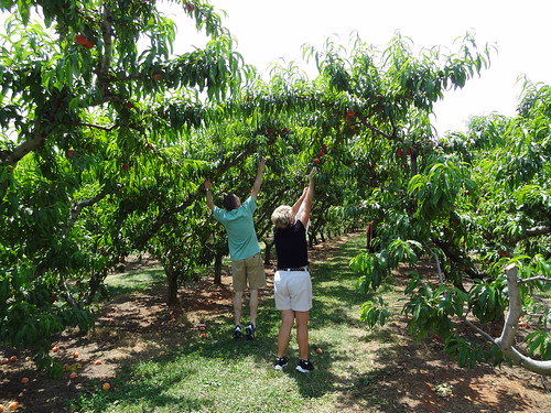 Peach Picking June 2012 (5)