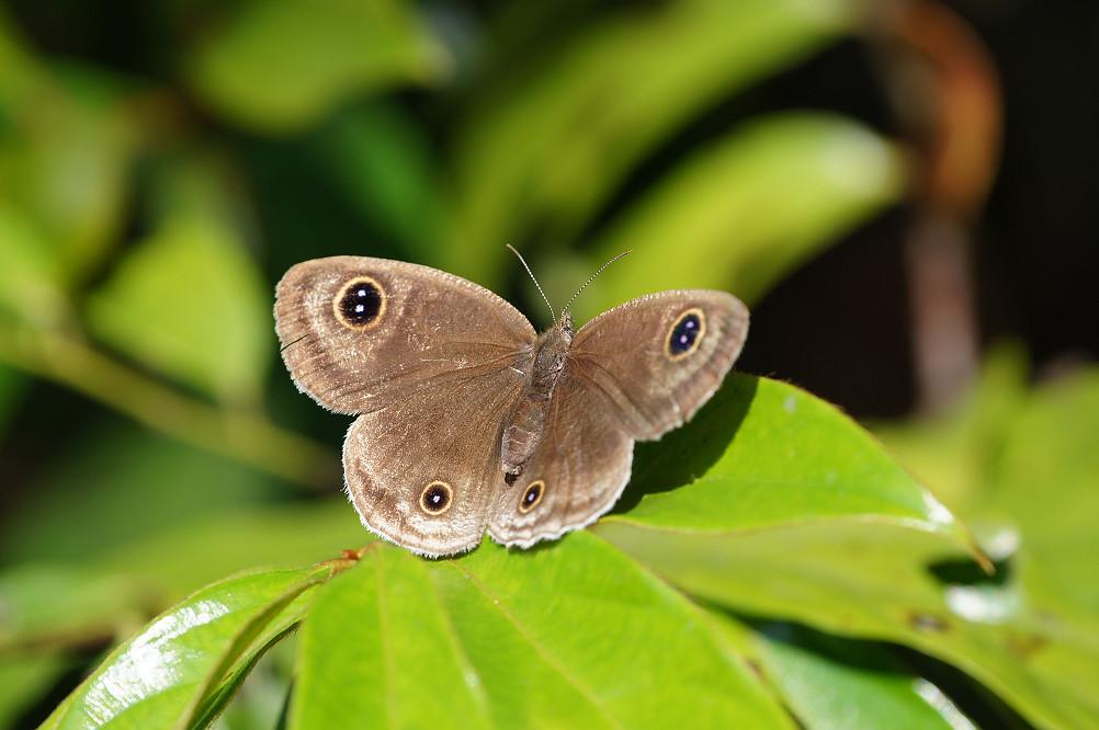 台灣波紋蛇目蝶