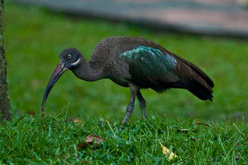 weird ibis