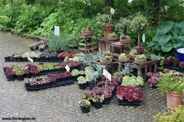 hauswurze (sempervivum) - florilegium, Garten seite