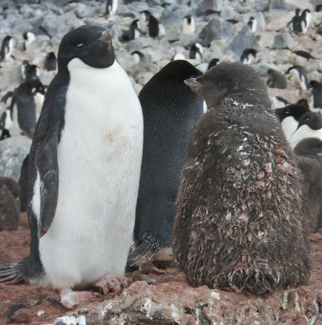 Adelie Penguin and chick ready for a bath.....