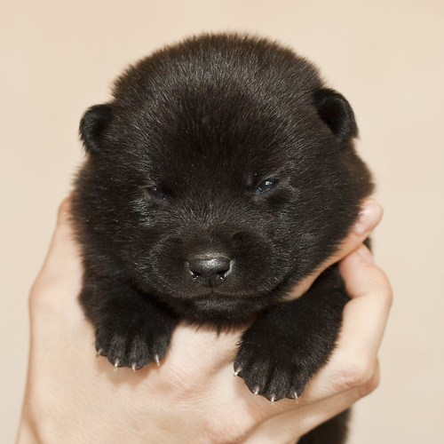 Haru-Third-Litter-Pup4-Female-Day15a