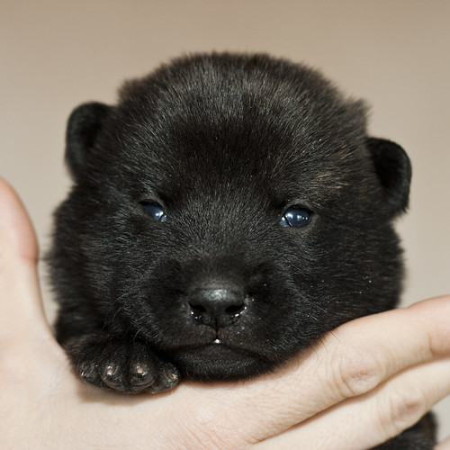Haru-Third-Litter-Pup1-Male-Day15a