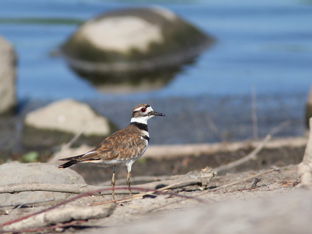 Killdeer 20120525