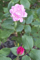 rosa gallica(0.0), rosa rubiginosa(0.0), rosa acicularis(0.0), rosa rugosa(0.0), annual plant(1.0), shrub(1.0), garden roses(1.0), floribunda(1.0), flower(1.0), plant(1.0), flora(1.0), petal(1.0),