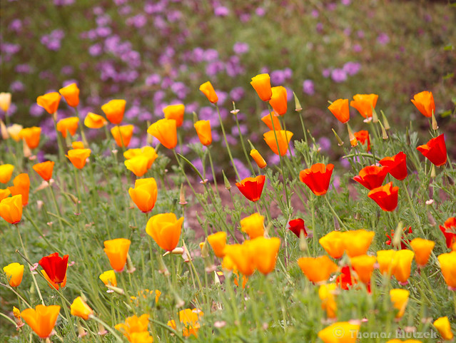 Poppies in Golden Gate Park, San Francisco