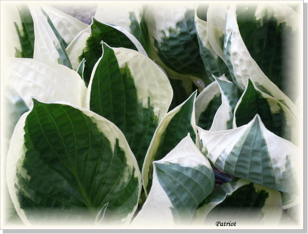Hostas Only 1 (19)