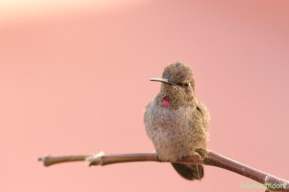 immature Anna's Hummingbird 053112