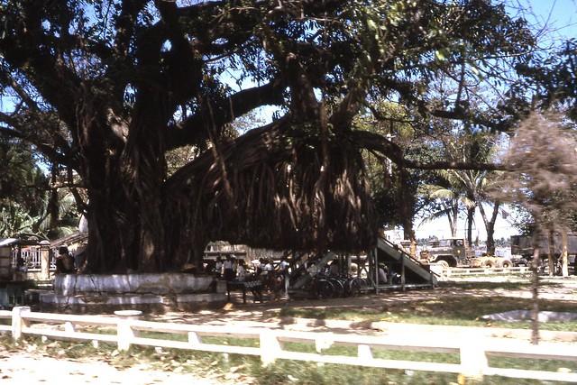 Da Nang 1966 - Banyan tree