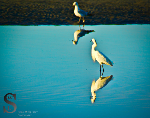Milford Egret and gull-
