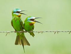 [フリー画像素材] 動物 2, 鳥類, ルリホオハチクイ ID:201206180400