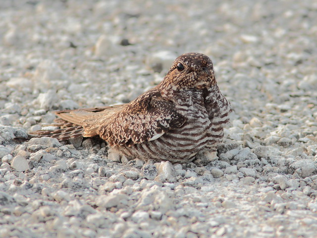 Common Nighthawk 3-20120614