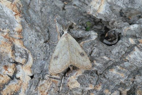 Straw Dot (Rivula sericealis)
