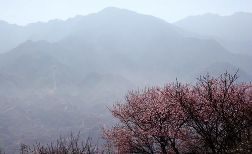 Sapa Cherry Blossom