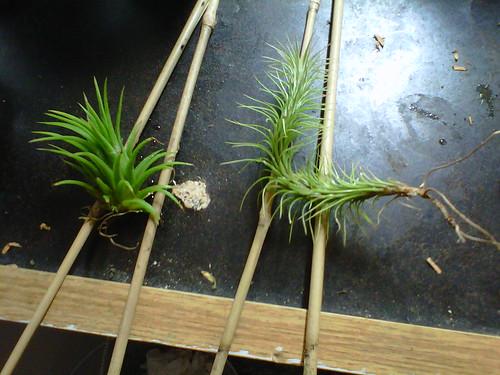 Tillandsia ionantha mex (left) and funkiana