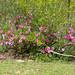 Small photo of Summer Impala Lily (Adenium swazicum)