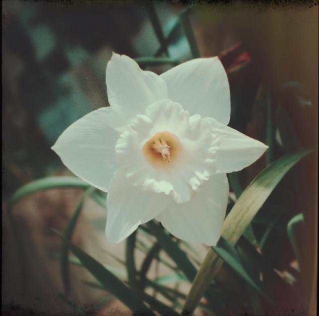 Narcissus (plant)