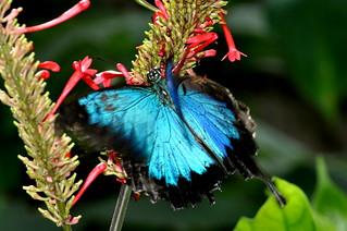 Papilio ulysses joesa