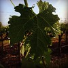 New dawn, new #cabernet leaf with fresh dew #napa by craig.camp