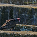 Turkey Vulture (1 of 2) at Duke Farms, Hillsborough, NJ