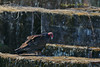 Turkey Vulture (1 of 2) at Duke Farms, Hillsborough, NJ by takegoro