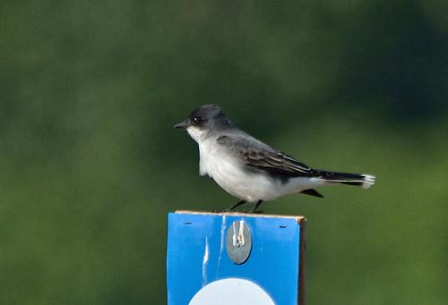 easternkingbird tyrannustyrannus