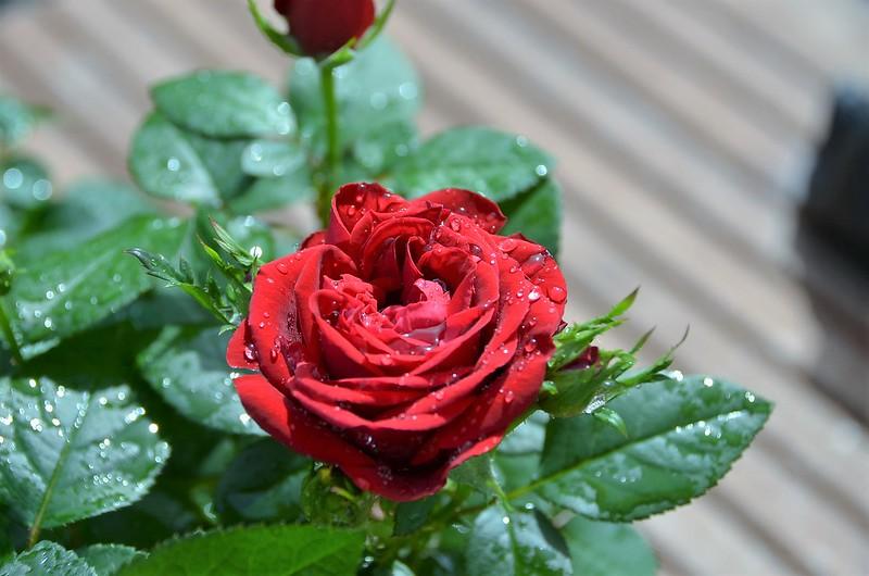 Roses 25.06 (6)