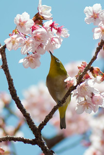 2012 White-eye and Cherry blossoms 13