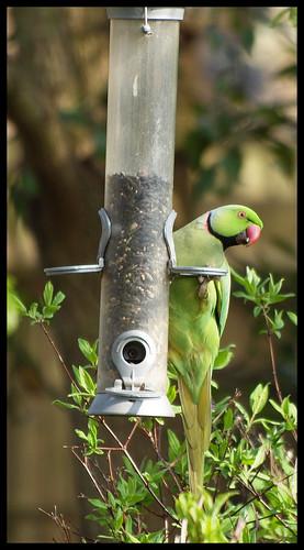 Ring-Neck Parakeet