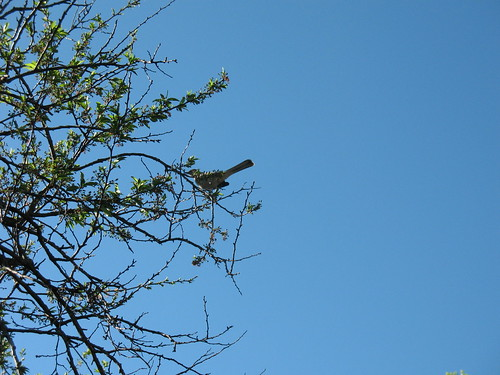 mockingbird in plum tree