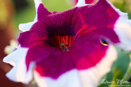 152: Petunia