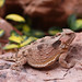 Greater Short-horned Lizard_IMG_8538_edited-1 by carla kishinami