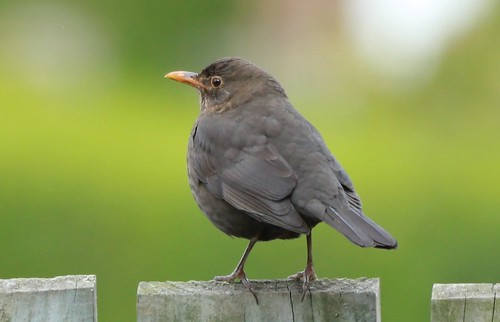 Female Blackbird - Lightbox