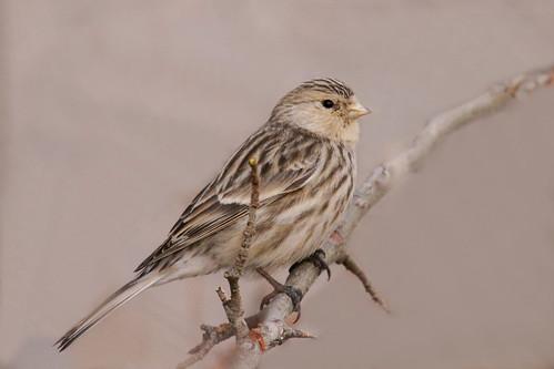birdwatcher carpodacusroseus bayara баяраа thewonderfulworldofbirds eojbayara lbayarsaikhan лбаярсайхан bayaral