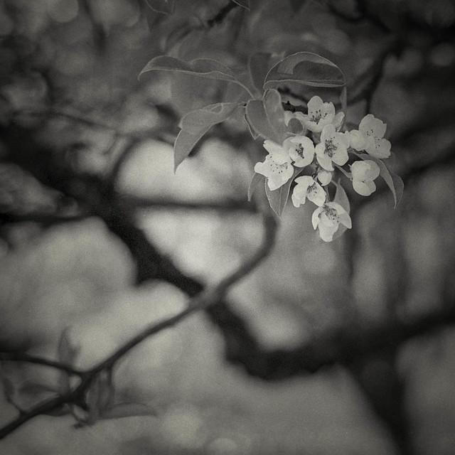 Im milden Licht der Kirschblüten