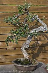 Bonsai-sin nombre-Jardi Botanic de BCN 25