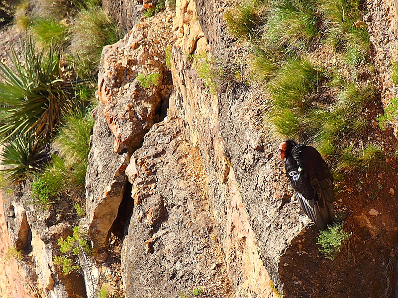 IMG_3339 California Condor #266 on a Ledge, Mather Point, Grand Canyon National Park
