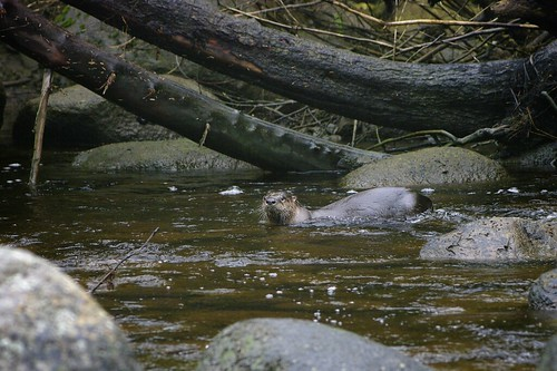 River Otter with a Bullhead