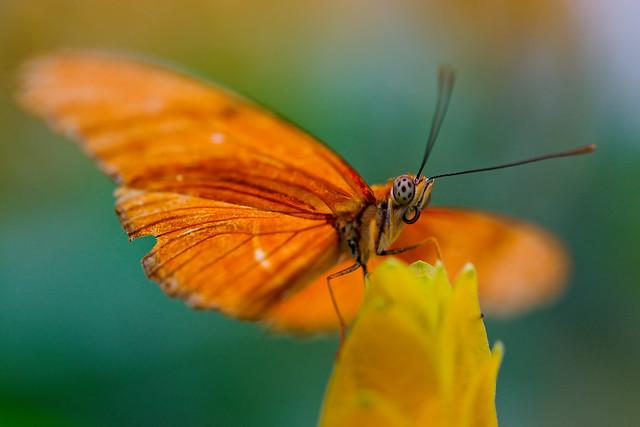 ... butterfly | Anot