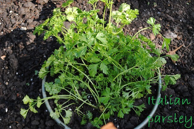 parsley in pot at community garden